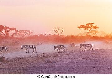 Zebras herd on dusty savanna at sunset, Africa - Zebras herd...