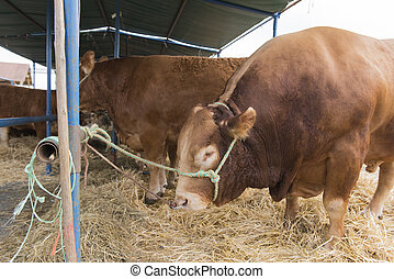 French Limousin bulls in barn
