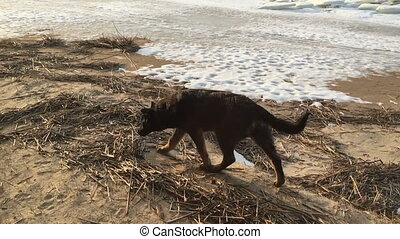 black dog walks along the coast of the gulf in the spring. -...