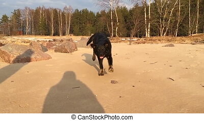 Black dog running on the sand directly into the camera lens...