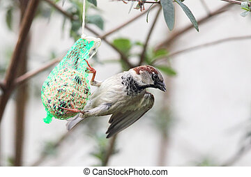 House Sparrow Passer domesticus feeding on a fat ball in the...