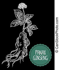 Root and leaves panax ginseng. Vector engraving vintage...