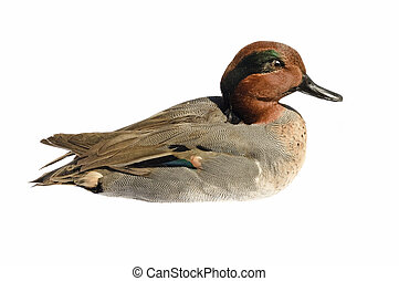 taxidermied Green-winged teal - taxidermied green-winged...