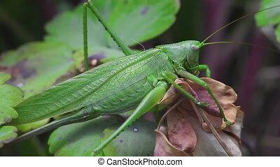 The female green grasshopper - Macro detail of European...