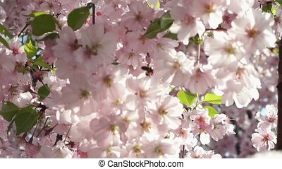 Sakura, close-up Japanese cherry.