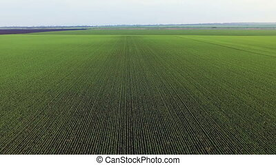 Aerial view of  wheat's fields in full HD