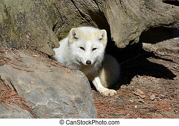 Arctic fox standing in den-1 - An arctic fox getting up out...