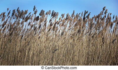 The dry cane waves on a background of the blue sky ,
