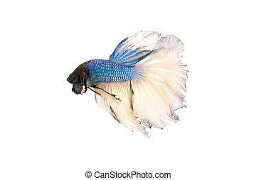 betta splendens isolated on white background