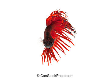 red betta splendens isolated on white background