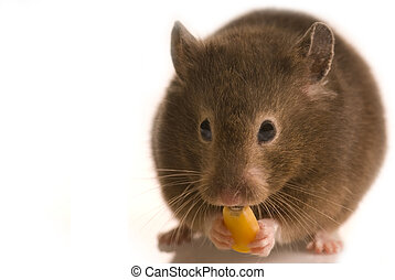 Little brown hamster eating corn - Cute little brown hamster...