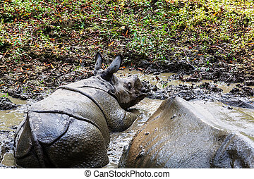 Rhino in Nepal - Rhino is eating the grass in the wild,...