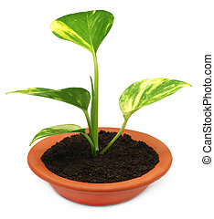 Money plant in a bowl with fertile soil over white...