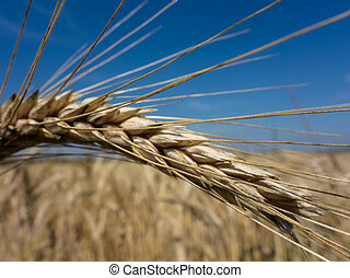 wheat field - a box of cereal wheat just before the harvest...