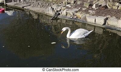 single white swan swims on dark water in lake