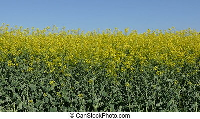 Canola, rapeseed plant - Oil rape, canola plants in field in...