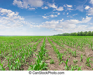 Corn field with young stalks against the sky with clouds -...