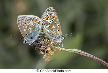 two silver-studded blue butterflies Plebejus argus mating