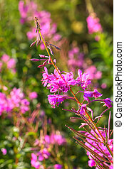 Flowers fireweed - Flowering fireweed on a summer meadow...