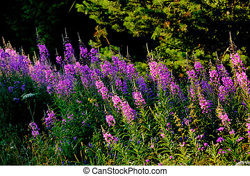 Flowers fireweed. - Flowering fireweed on a summer meadow....