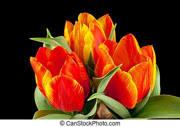 Tulpen - Nahaufnahme von Tulpen vor schwarzen Hintergrund