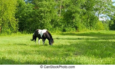 Pony grazing in a meadow