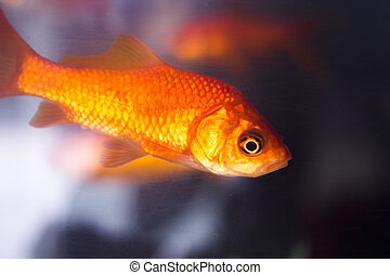 Goldfish swimming in fish tank closeup photo in petshop...