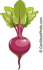Fresh beet with leaf Vector illustration Isolated white...