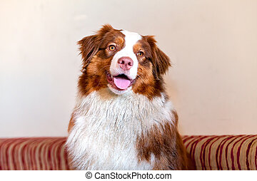 Australian Shepherd nice view of a person with a close-up