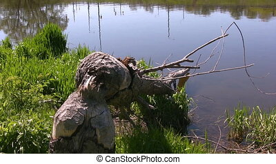chewed stump due to beavers - Zooming in on the stump of a...