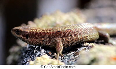 lizard reptile animal macro movement - Mainland lizard sits...