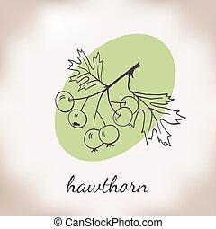 vector illustration hawthorn - Handdrawn vector illustration...