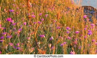 Wild steppe plants in summer. A lot of small wildflowers of violet color in warm sunset light