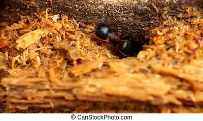 ant insect climbs out of tunnel of nest macro - insect ant...