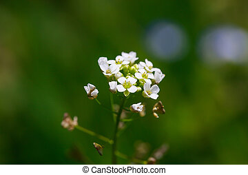 Wild white flowers on blured green field background