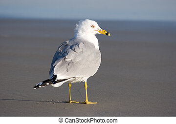Seagull - A seagull standing on a beach in Florida