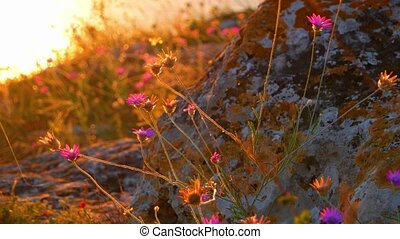 Small flowers shake in wind on sunset. Shot full of warm...