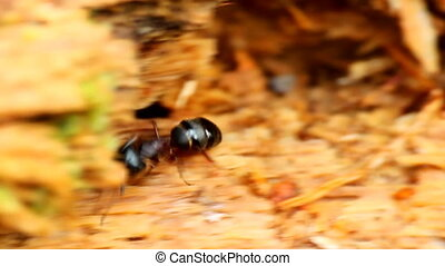 ant is moving quickly about their business macro - insect...