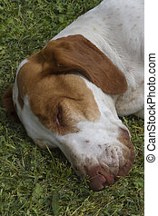 cute beagle dog sleeping