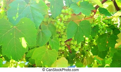 Green Grapes on the Vine Blowing in the Wind with Flickering Sun