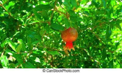 Pomegranate fruit on the tree branch a lot of leaves about...