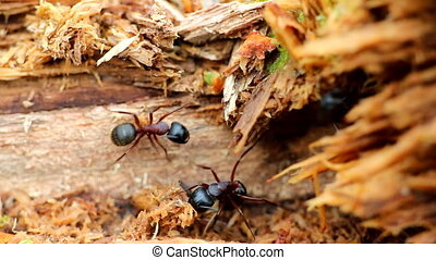 meeting and the behavior of insects ants macro - insect ant...