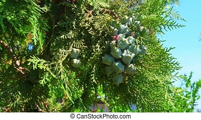 Juniper branch with seed cones shaking on wind.