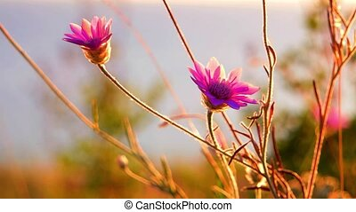 Small wiolet flowers backlit by warm sunset light Closeup of...