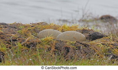 Red-throated divers nest, Arctic - Red-throated divers nest...