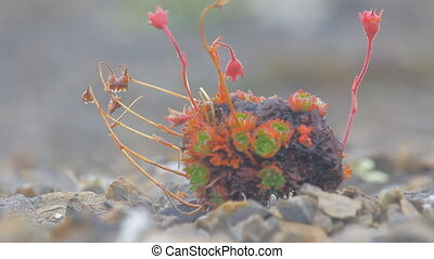 Amazing Arctic desert plants Novaya Zemlya archipelago -...