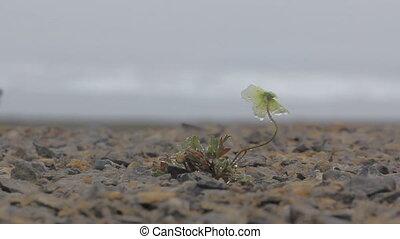 North fall: last Arctic poppy Novaya Zemlya archipelago -...