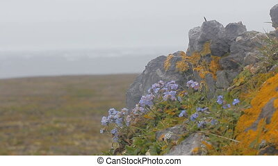 Life of polar desert: tiny bright flowers shivering on wind...