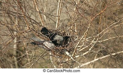 crows nest in the tree - A pair of crows arrange their nests...