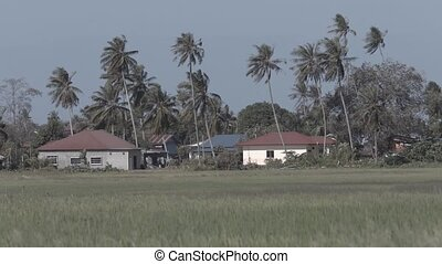 Houses amongst coconut trees at the edge of plantation...
